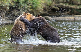 Grizzly Bears playing, Knight Inlet, Canada