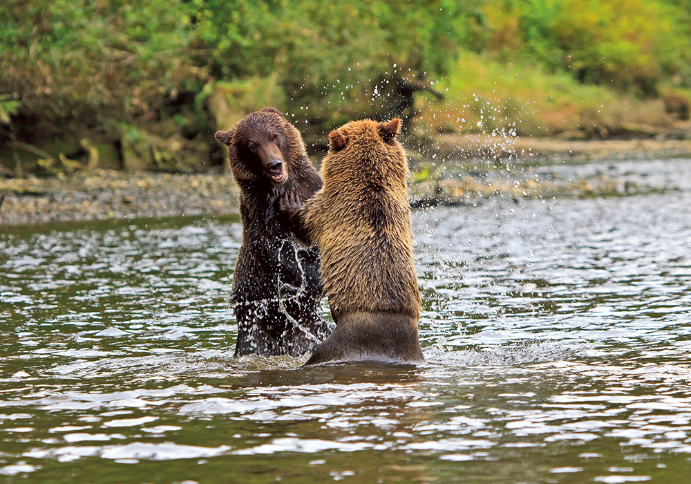 Grizzly Bears Knight Inlet, Canada
