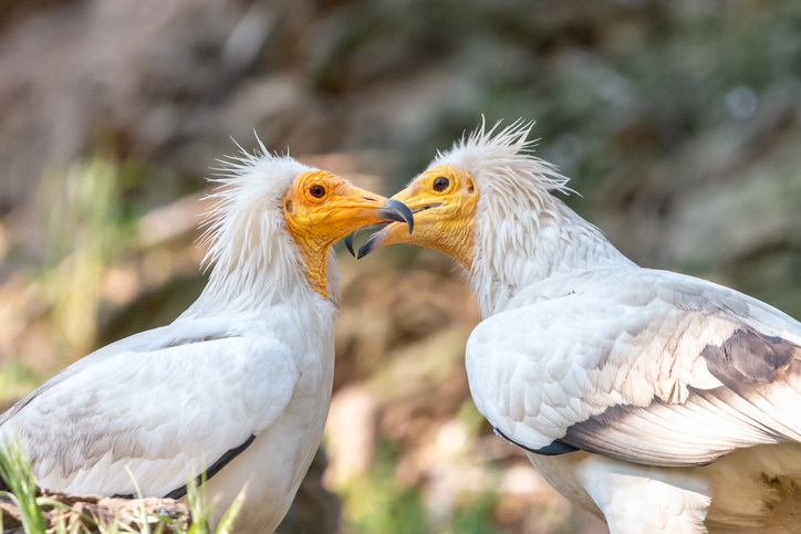 douro egyptian vulture