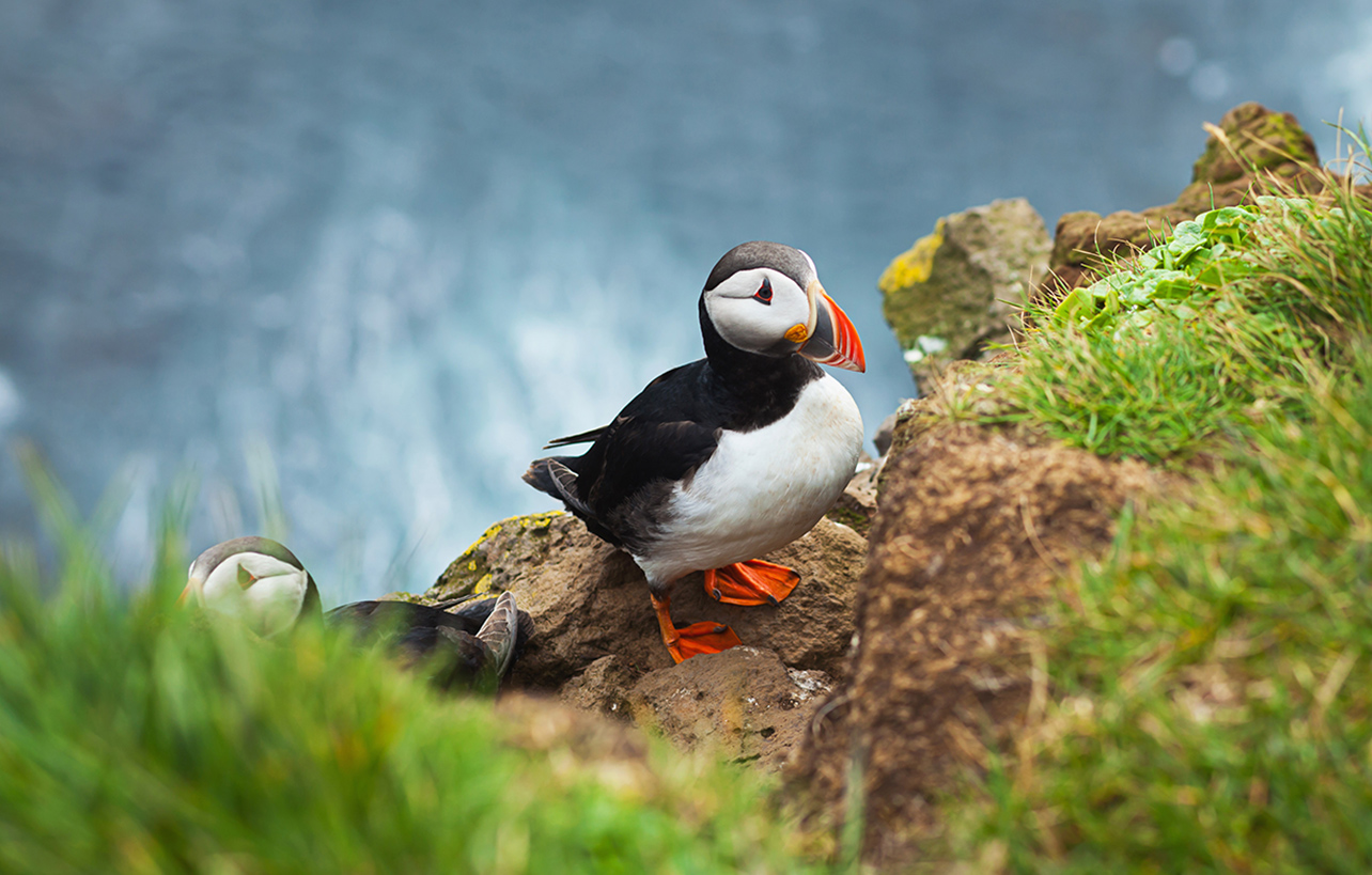 Icelandic Horned Puffin
